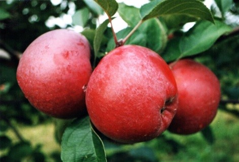 3 Benefits of Apples to Improve Body Performance